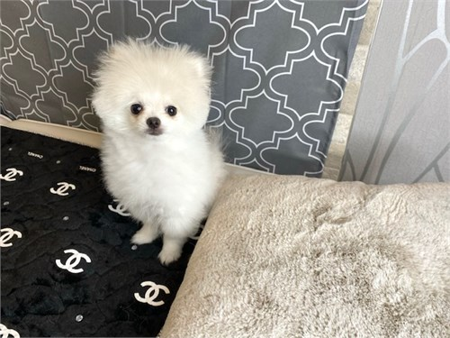 Bentley -tiny white Pom