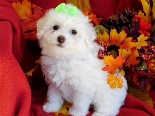 Pretty Bichon Fris pups