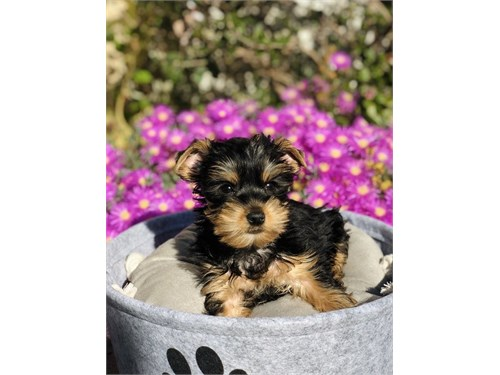 Yorkshire Terrier, Buddy