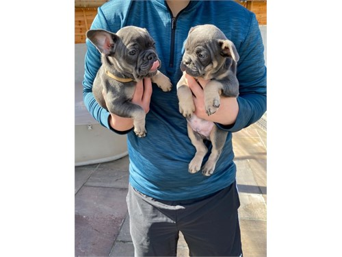 Home French Bulldogs