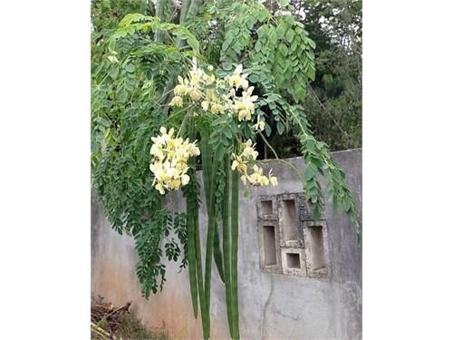 Gorgeous Moringa