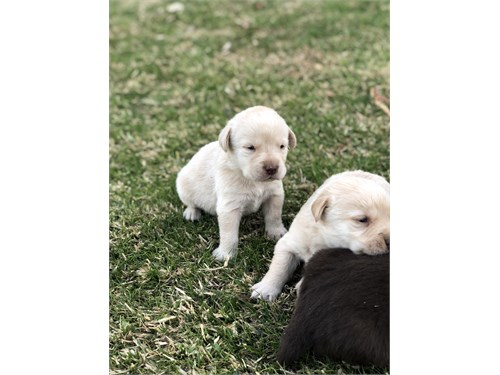 Labrador Puppies with AKC