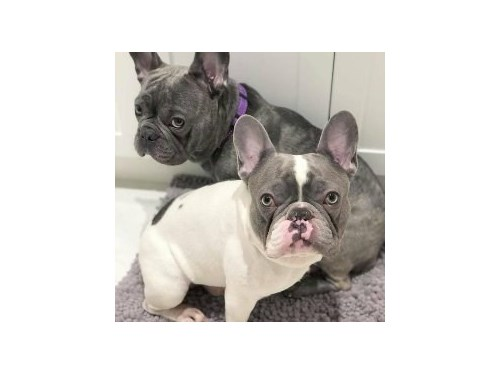 Adorable french bull dogs