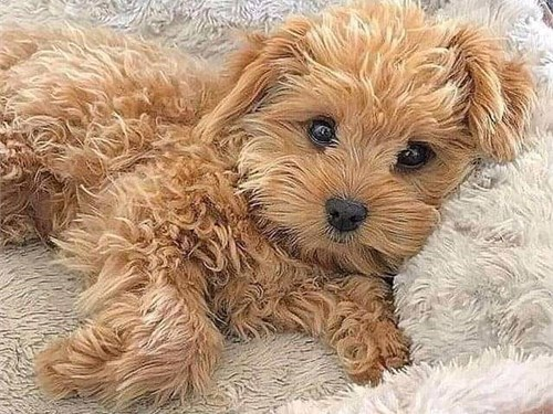 Akc registered maltipoo