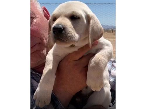 AKC Labrador Puppy Thomas