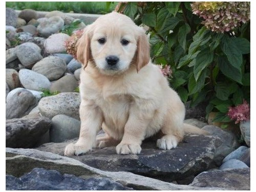 goldie puppies for sale