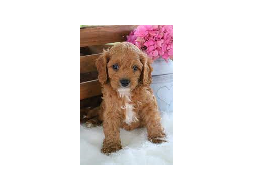 Adorable cavapoo puppies