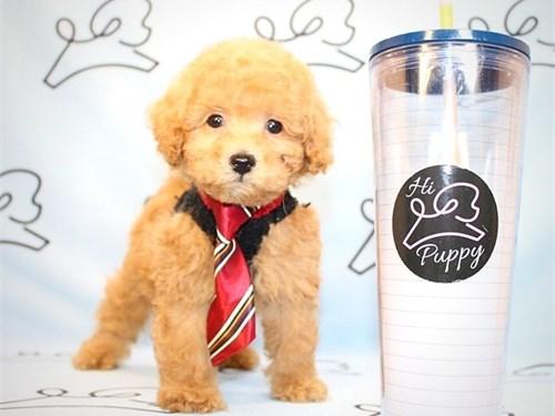 Perfect Teacup Poodles