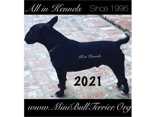 Mini Bull Terriers