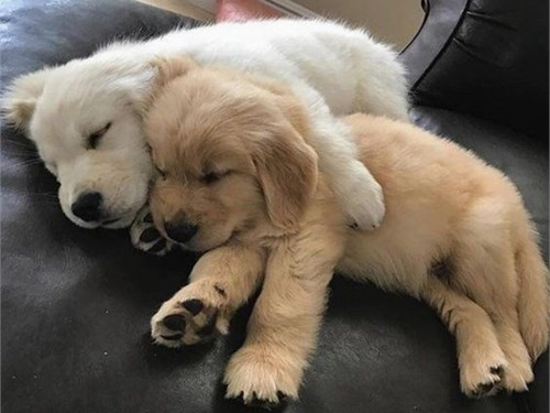 Bil Golden Retriever pups