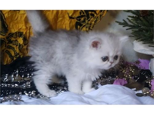 CFA Silver Persian Kitten