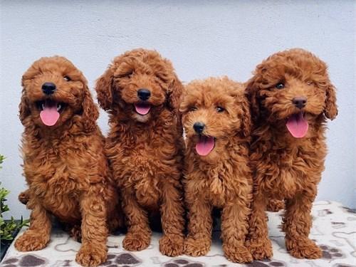 Gold en do odle puppies u