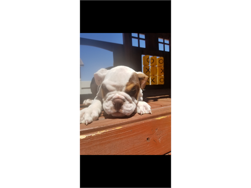 Akc mini english bulldog