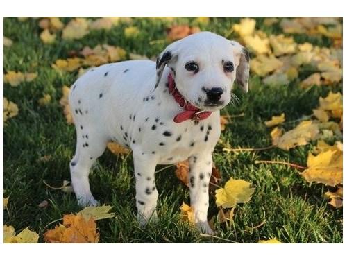 Daltin Dalmatian puppies