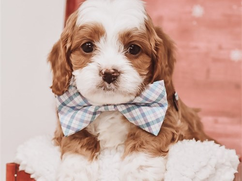 Sweet Cavapoo Pups Ready
