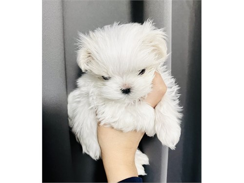 Korean tcup Maltese