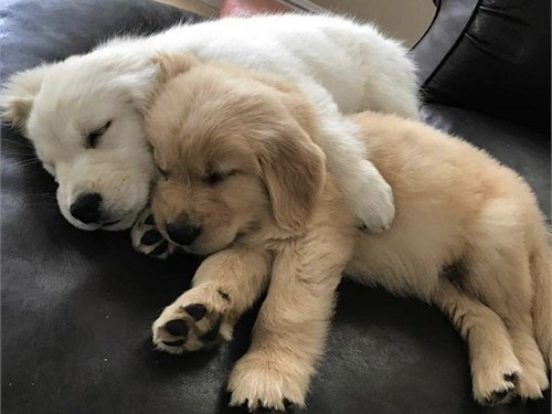 Golden retriever pups 4 U