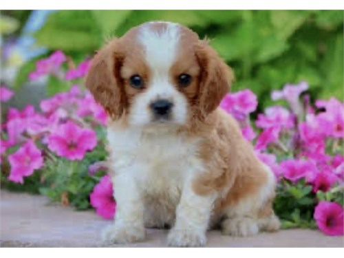 CAVALIER PUPPY FOR SALE