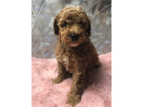 Beautiful Toy Poodle