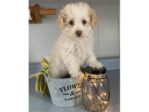Quick T-cup Poodle Pups