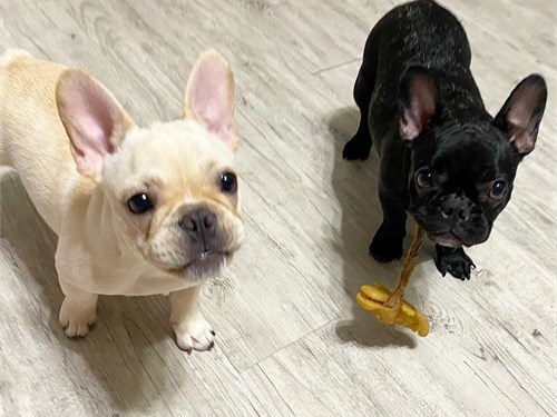 Cute pair of Frenchie's