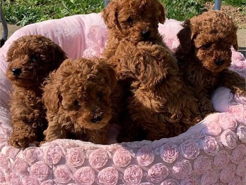 Poodl'e toy pupies