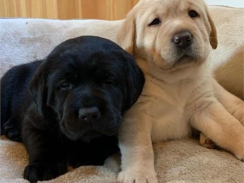 Labrador Retriever sale