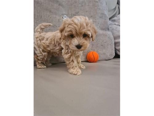 Adorable maltipoo puppy
