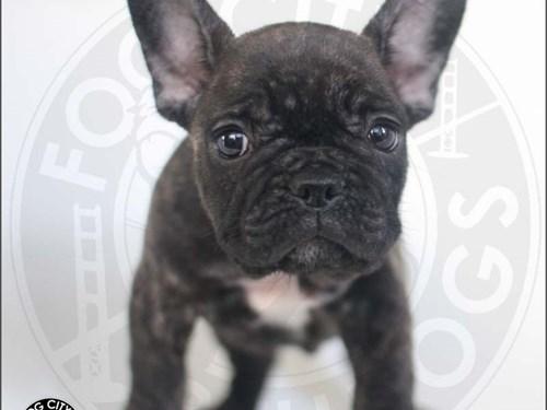 AKC French Bulldog Boy