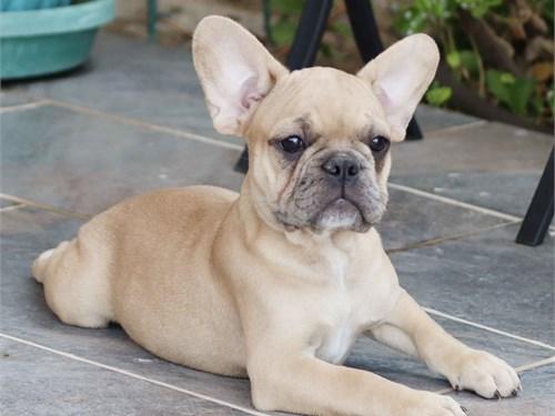 AKC French Bulldog Male