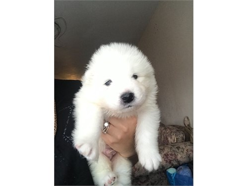 Excellent Samoyed Puppies