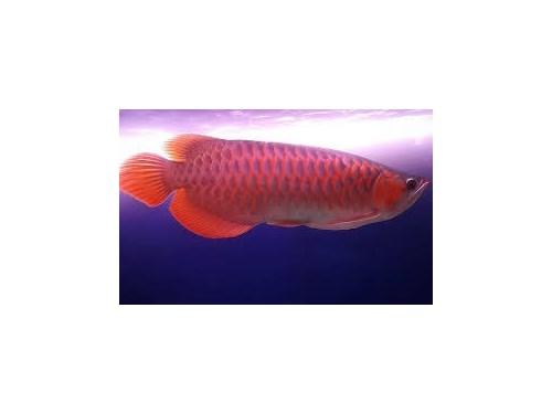 Re Arowana fish