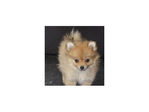 Beautiful Pomerania puppi
