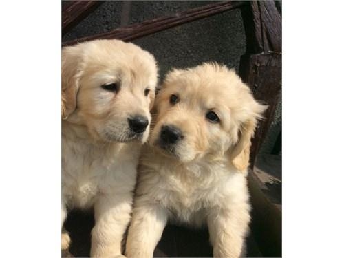 Golden Retriever Babies