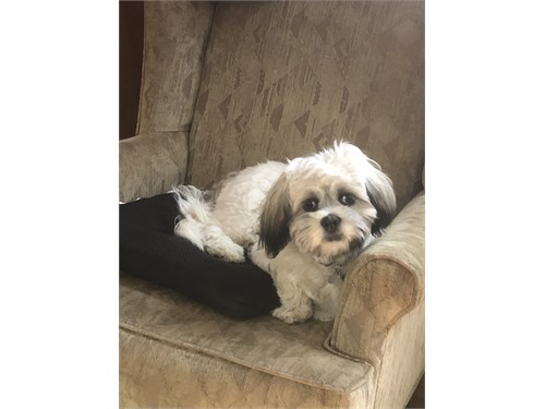 8 mos old male Shih Tzu