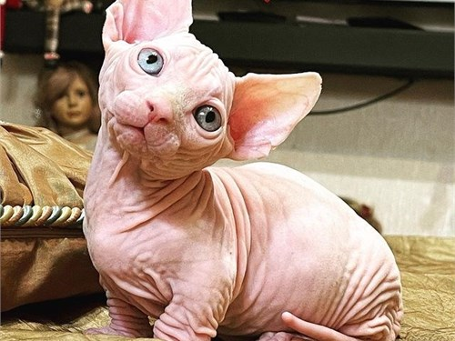 Litter of pure Sphynx bre