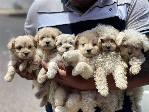 Maltipoo puppies cuties!