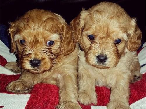 Beautiful Cavapoo Puppies