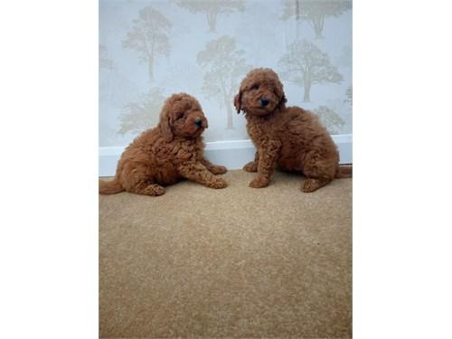 Red Golden Doodle Pups