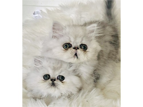 Silver Shaded Persians