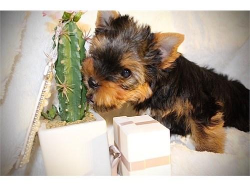 KC Yorkshire Terrier Pups