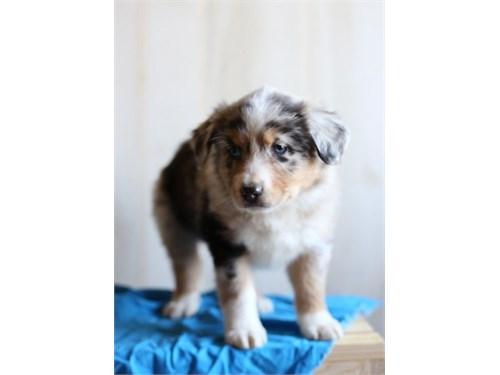 Australian Shepherd Pups.