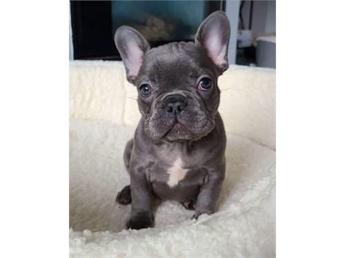 Akc French bulldog puppie