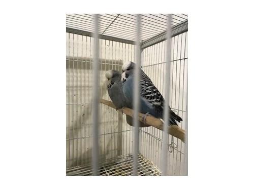 English parakeet pairs