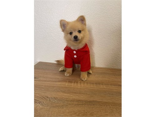 P0m$r@n!an Puppys