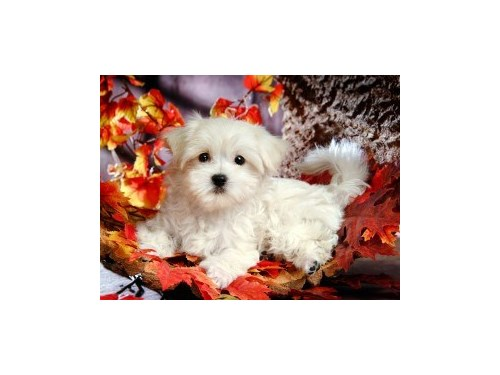 2 Cute AKC Maltese Puppie