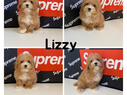 Lizzy, Cream Poodle