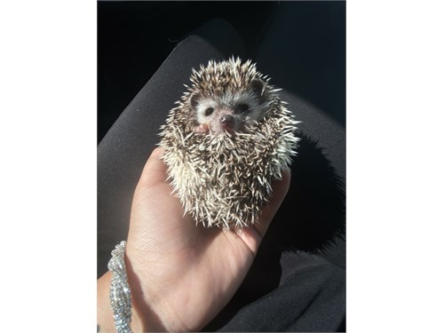 Hedgehogs for Reserve