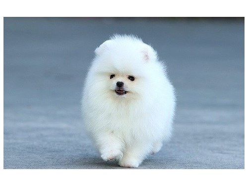 Pomeranian puppies up for