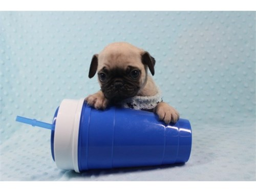Teacup and To Pug Puppies